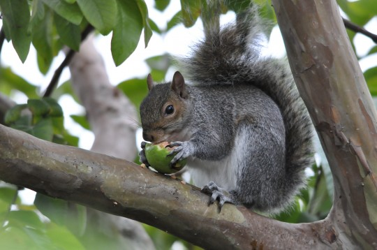 Squirrel eating a guava in our garden