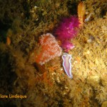 Tiny frilled nudibranch