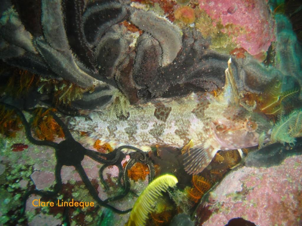 Resting klipfish