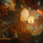 Orange gas flame nudibranch and friends