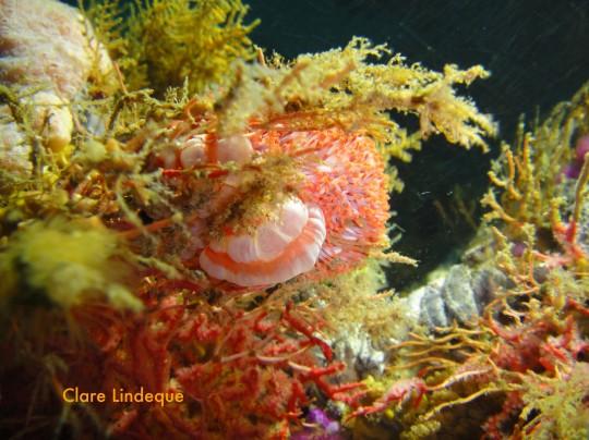 Sea life: Walking anemones