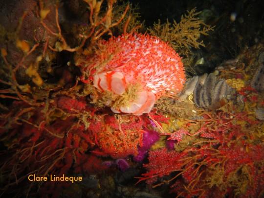 Walking anemone on the SAS Good Hope