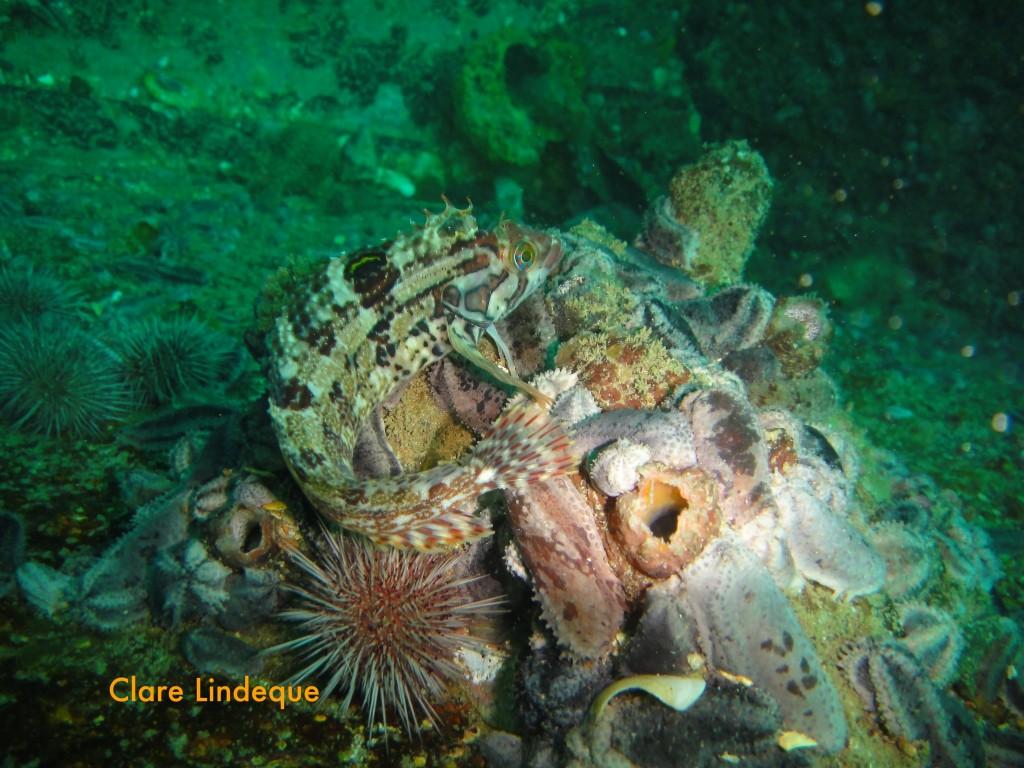 Sad-looking speckled klipfish