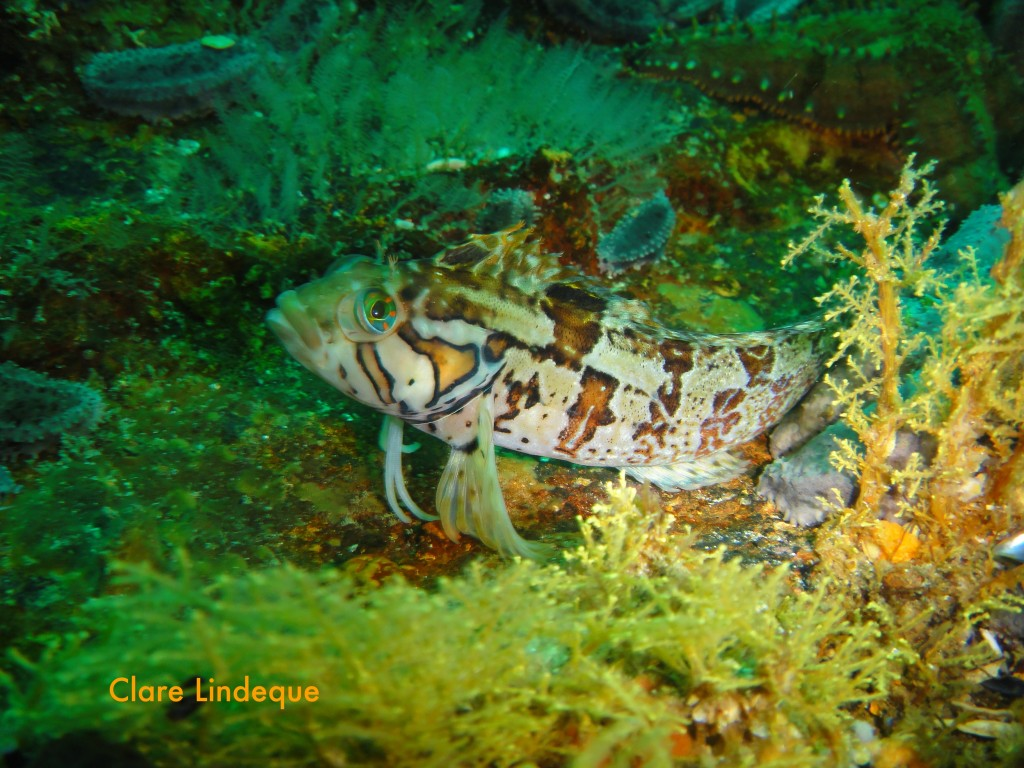 Speckled klipfish