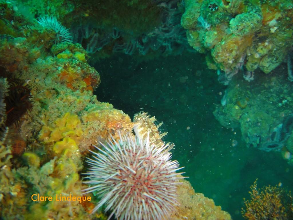 Klipfish sheltering behind a Cape urchin