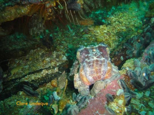 Cuttlefish on the SAS Pietermaritzburg