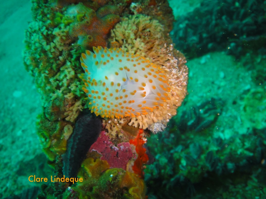 Orange gas flame nudibranch