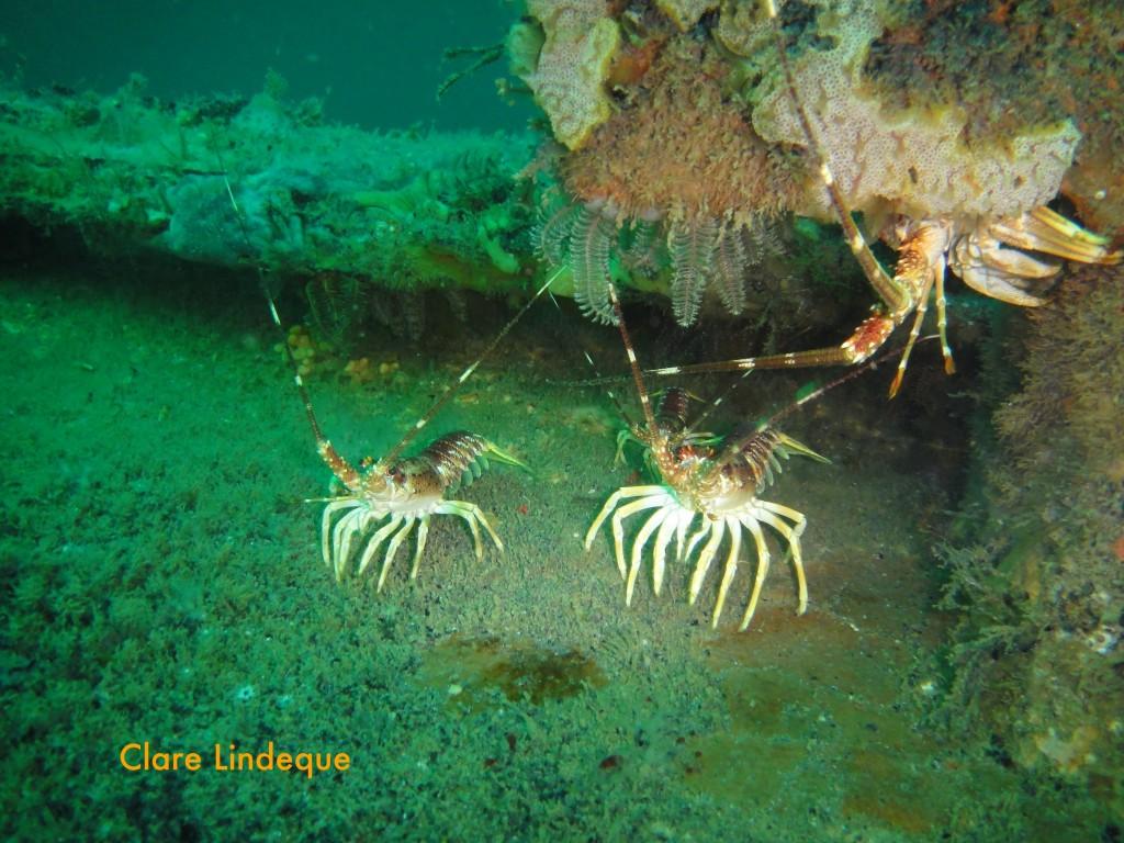 West coast rock lobsters on deck