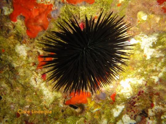 Urchin found in shallow water
