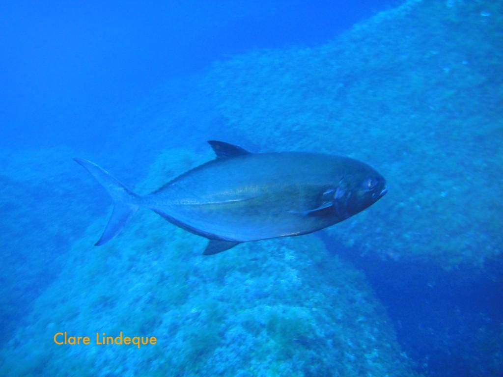 Atlantic Bluefin Tuna, Thunnus thynnus