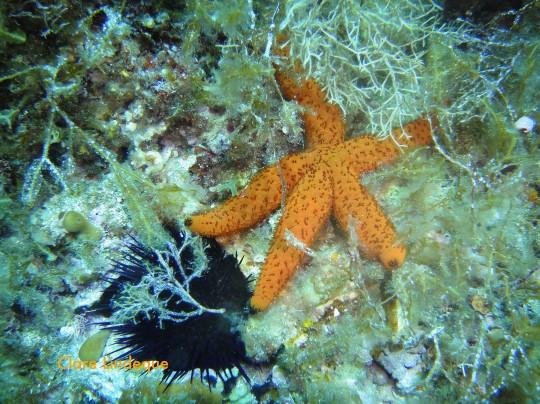 Common starfish (Echinaster sepositus)