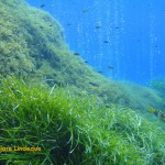 The damselfish enjoy edible items dislodged by rising bubbles
