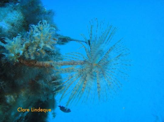 The tube worm Serpula vermicularis