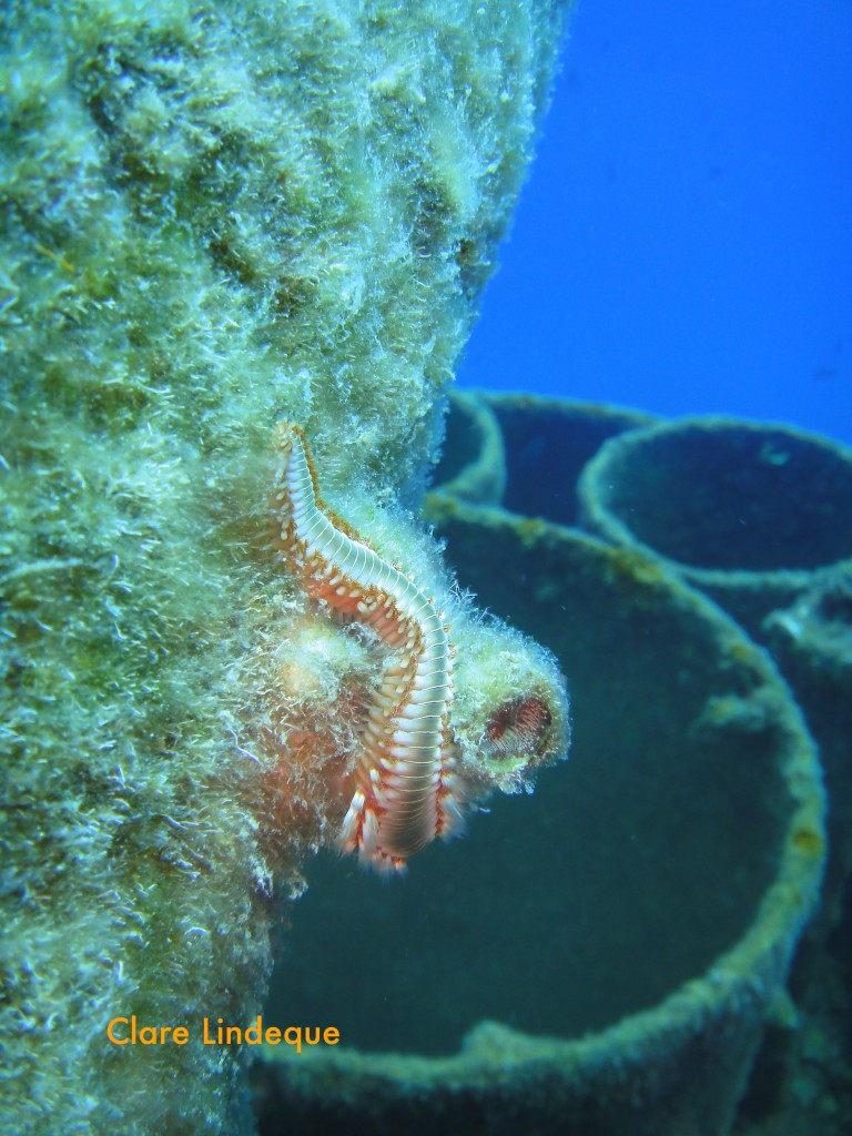 A fireworm near the funnel
