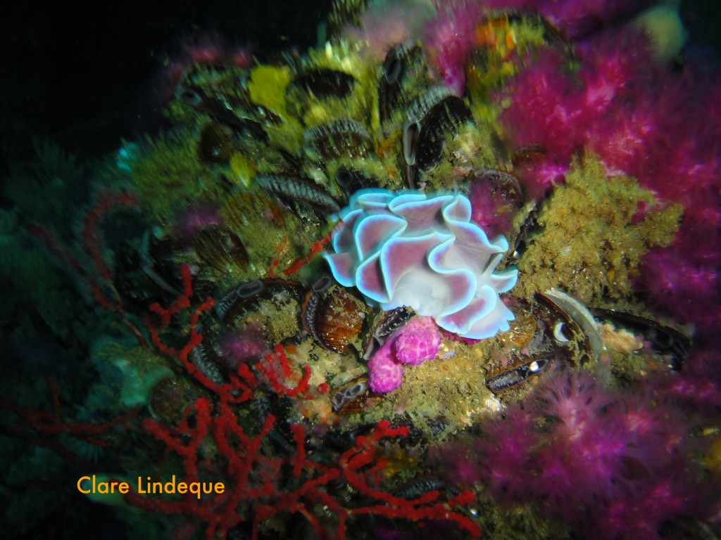 Frilled nudibranch
