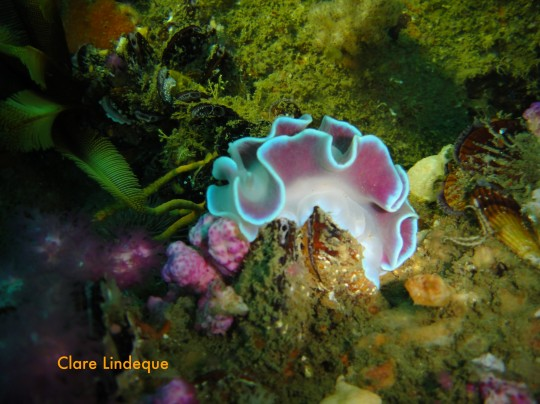 Frilled nudibranch on the Orotava