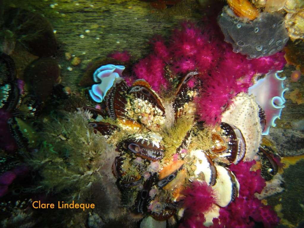 Two frilled nudibranchs on some mussels