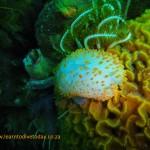 Orange gas flame nudibranch