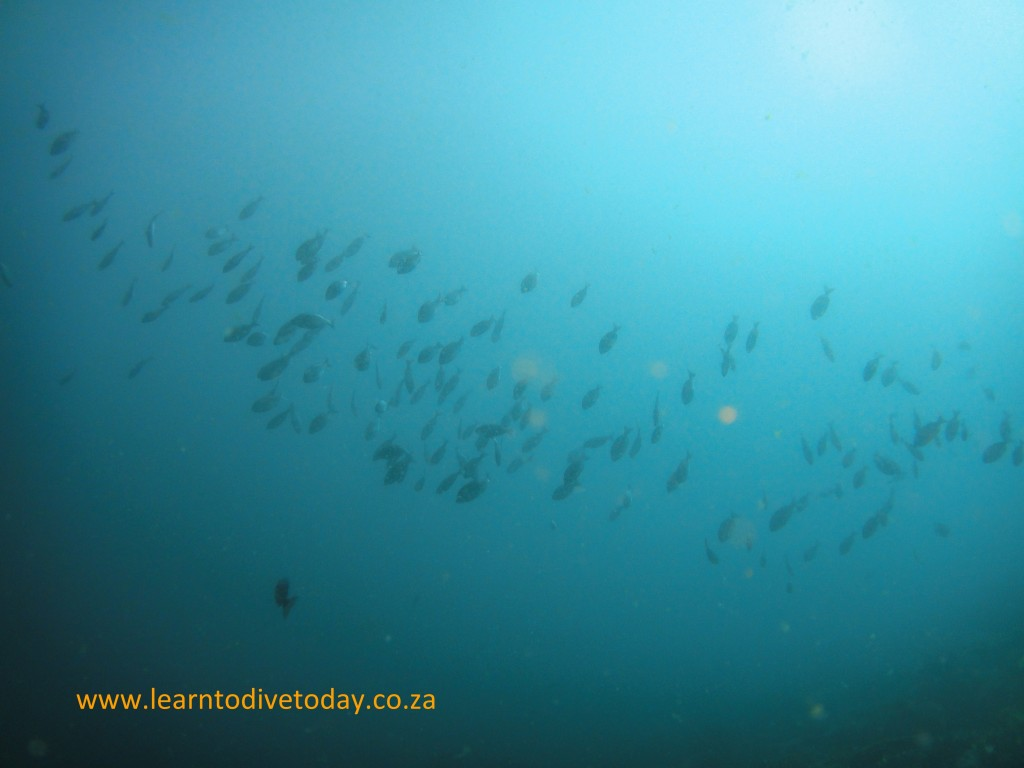 Fish schooling in midwater above the reef