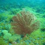 Palmate sea fan at Roman Rock