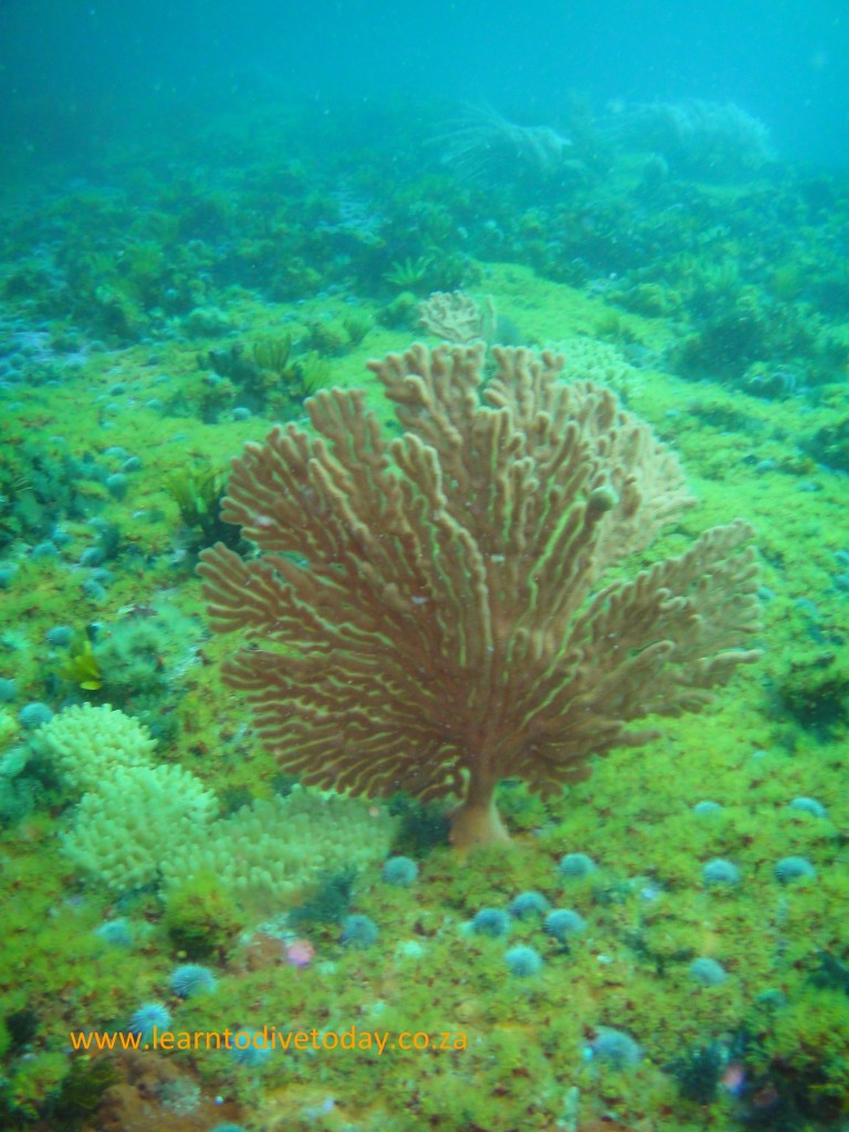 Palmate sea fan at Roman Rock