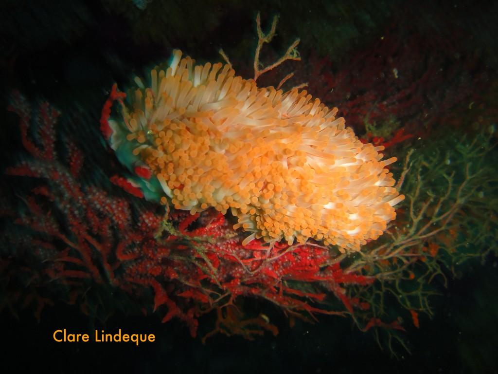 Walking anemone