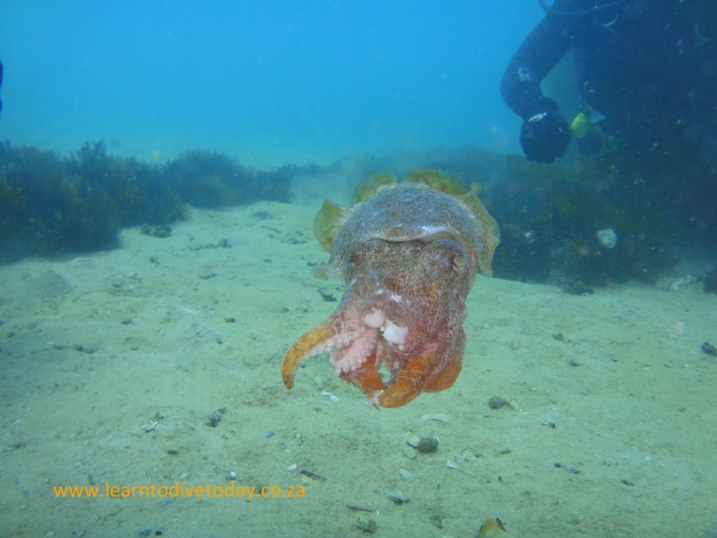 Slightly beaten up cuttlefish at Long Beach