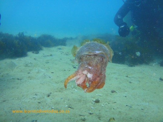 Slightly beaten up cuttlefish at Long Beach