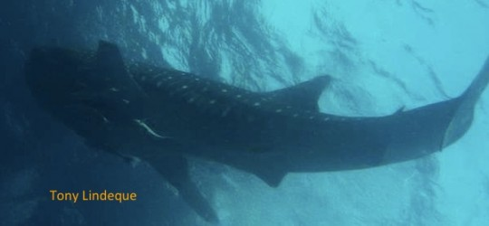 Lecture: Mark Meekan on whale sharks