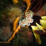 Orange coloured frilled nudibranch on the MFV Orotava
