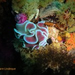 Pink coloured frilled nudibranch on the MFV Orotava