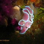 Frilled nudibranch on the MFV Orotava