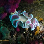 Large frilled nudibranch on the MFV Orotava