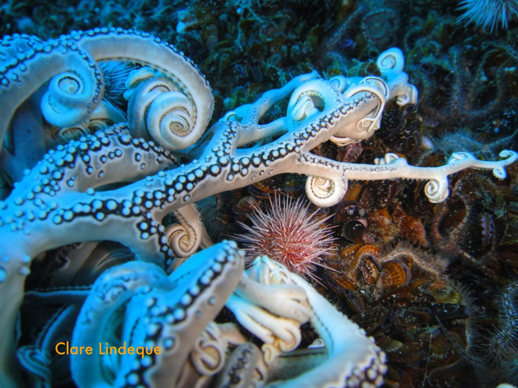 Basket star tentacles