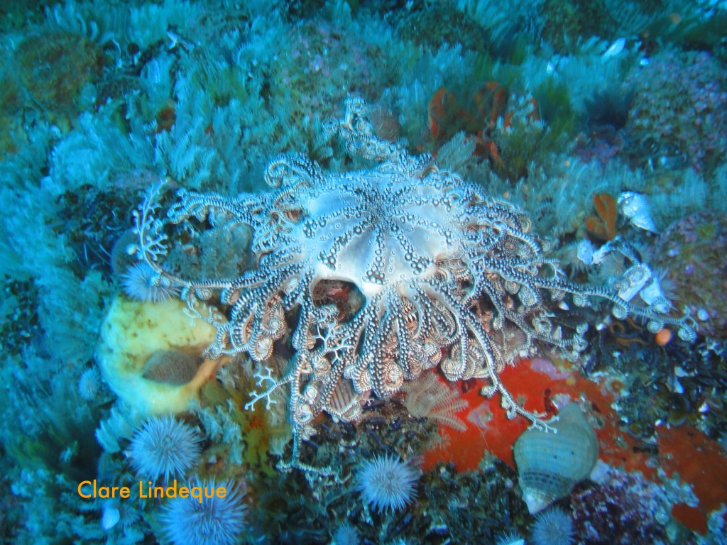 Basket star on Tafelberg Reef