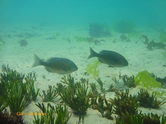 Hottentot on the Admiral's Reef at Long Beach