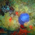 Knobbly anemone (right) on Atlantis Reef
