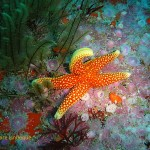 Granular sea star