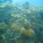 Anemones, urchins, corals and sea fans cover the upper reaches of the pinnacles
