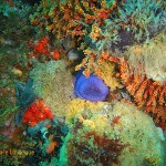 A knobbly anemone among sea fans, sea cucumbers and other invertebrate bounty