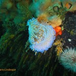 Two gas flame nudibranchs grappling