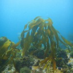 Kelp in the shallow water on top of the pinnacle