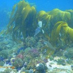 Kelp growing on top of the shallower pinnacle