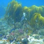 Kelp growing on top of the shallower pinnacle