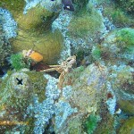 Cape rock crab hiding among the redbait on top of one of the pinnacles