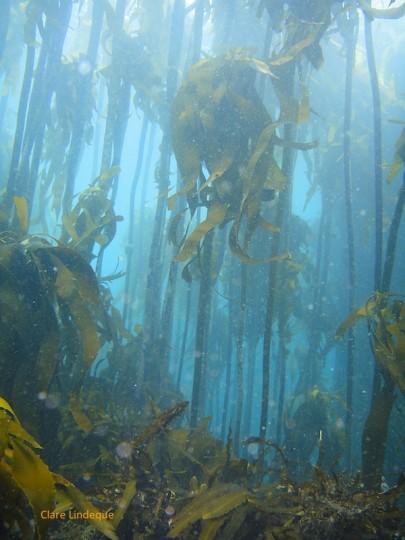 Kelp forest at Windmill