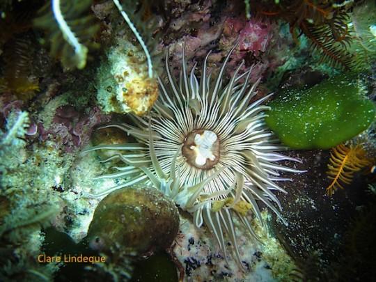 Striped anemone at WIndmill