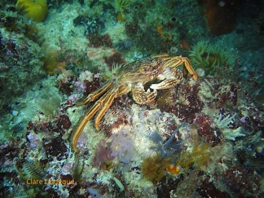 A Cape rock crab on the move