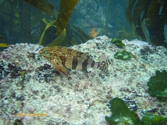 A klipfish perches on a rock