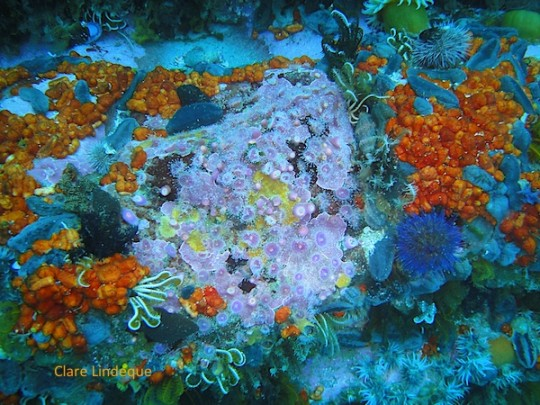 Strawberry sea anemones and sea cucumbers